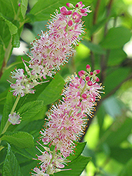 Ruby Spice Summersweet (Clethra alnifolia 'Ruby Spice') at Arbor Farms Nursery
