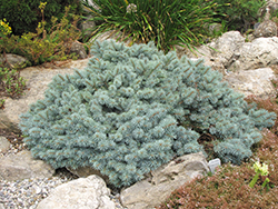 St. Mary's Broom Creeping Blue Spruce (Picea pungens 'St. Mary's Broom') at Arbor Farms Nursery