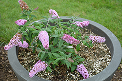 Pugster® Pink Butterfly Bush (Buddleia 'SMNBDPT') at Arbor Farms Nursery