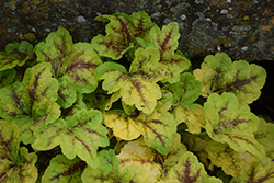 Fun and Games® Eye Spy Foamy Bells (Heucherella 'Eye Spy') at Arbor Farms Nursery
