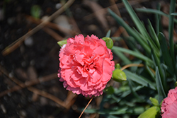 Fruit Punch® Classic Coral Pinks (Dianthus 'Classic Coral') at Arbor Farms Nursery