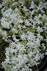 Snowflake Phlox (Phlox subulata 'Snowflake') at Arbor Farms Nursery