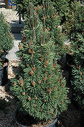 Columnar Mugo Pine (Pinus mugo 'Columnaris') at Arbor Farms Nursery