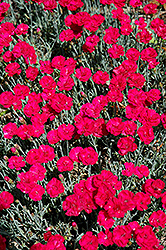 Frosty Fire Pinks (Dianthus 'Frosty Fire') at Arbor Farms Nursery