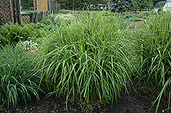 Porcupine Grass (Miscanthus sinensis 'Strictus') at Arbor Farms Nursery