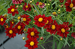 Mercury Rising Tickseed (Coreopsis 'Mercury Rising') at Arbor Farms Nursery