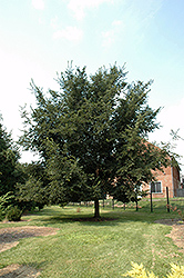 Patriot Elm (Ulmus 'Patriot') at Arbor Farms Nursery