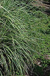 Little Zebra Dwarf Maiden Grass (Miscanthus sinensis 'Little Zebra') at Arbor Farms Nursery