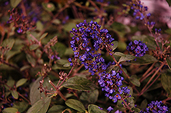 Lo And Behold® Blue Chip Junior Dwarf Butterfly Bush (Buddleia 'Lo And Behold Blue Chip Junior') at Arbor Farms Nursery