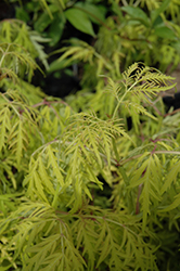 Lemony Lace® Elder (Sambucus racemosa 'SMNSRD4') at Arbor Farms Nursery