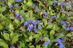 Plumbago (Ceratostigma plumbaginoides) at Arbor Farms Nursery