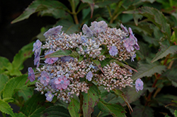 Tiny Tuff Stuff™ Hydrangea (Hydrangea serrata 'MAKD') at Arbor Farms Nursery