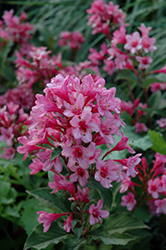 Sonic Bloom® Pink Reblooming Weigela (Weigela florida 'Bokrasopin') at Arbor Farms Nursery