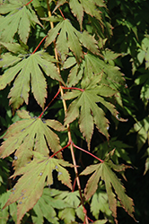 North Wind Japanese Maple (Acer 'IsINW') at Arbor Farms Nursery