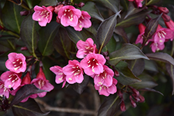 Wine and Roses® Weigela (Weigela florida 'Alexandra') at Arbor Farms Nursery