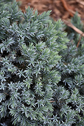 Blue Star Juniper (Juniperus squamata 'Blue Star') at Arbor Farms Nursery