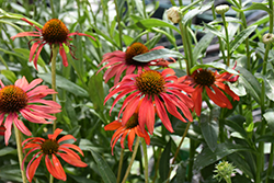 Tomato Soup Coneflower (Echinacea 'Tomato Soup') at Arbor Farms Nursery