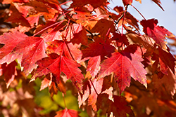 Sun Valley Red Maple (Acer rubrum 'Sun Valley') at Arbor Farms Nursery