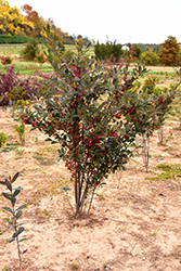 Brilliantissima Red Chokeberry (Aronia arbutifolia 'Brilliantissima') at Arbor Farms Nursery