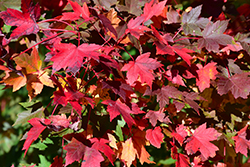Redpointe Red Maple (Acer rubrum 'Redpointe') at Arbor Farms Nursery