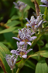 Toad Lily (Tricyrtis hirta) at Arbor Farms Nursery