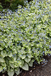 Jack Frost Bugloss (Brunnera macrophylla 'Jack Frost') at Arbor Farms Nursery