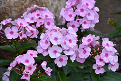 Cotton Candy™ Garden Phlox (Phlox paniculata 'Ditomfav') at Arbor Farms Nursery