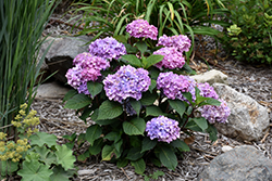 Bloomstruck® Hydrangea (Hydrangea macrophylla 'PIIHM-II') at Arbor Farms Nursery