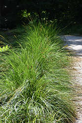 Autumn Moor Grass (Sesleria autumnalis) at Arbor Farms Nursery