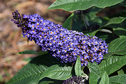 Pugster® Blue Butterfly Bush (Buddleia 'SMNBDBT') at Arbor Farms Nursery