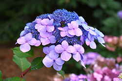 Twist-n-Shout® Hydrangea (Hydrangea macrophylla 'PIIHM-I') at Arbor Farms Nursery