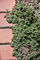 Elfin Creeping Thyme (Thymus praecox 'Elfin') at Arbor Farms Nursery